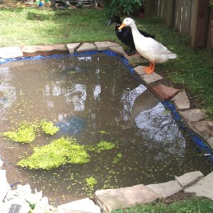 Ace's Duck pond